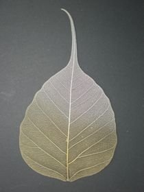 Bo Skeleton Leaves