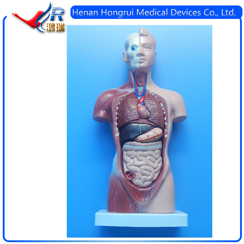 42CM 18 Parts Human Body Anatomy Sexless Torso Model