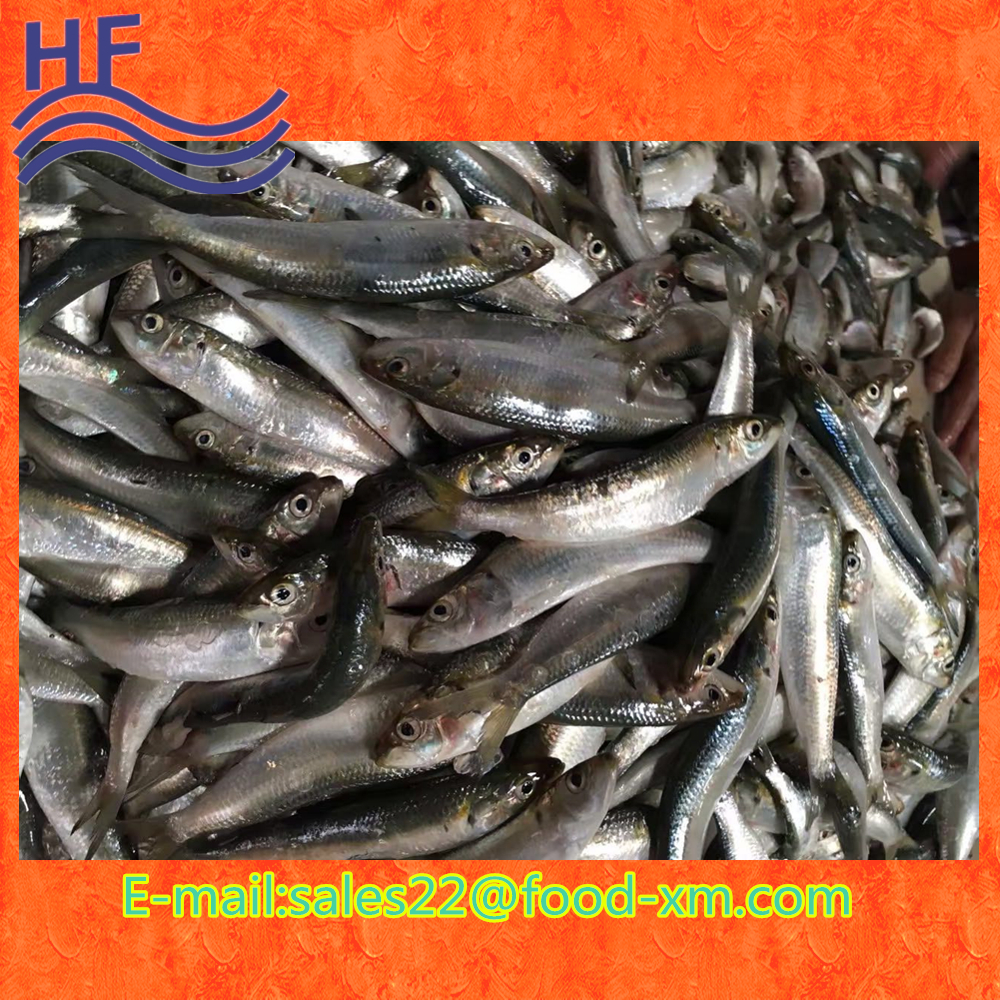 Fresh Frozen Indian Oil Sardine