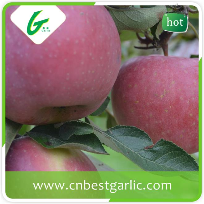 In Time Wide Varieties Fresh Fuji Apple From China