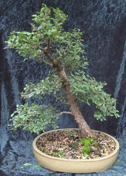 Bonsai Corky Bark Elm