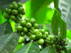 Green Ethiopian Coffee Bean