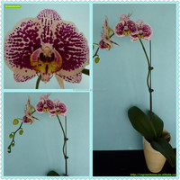 White black spots butterfly orchid live phalaenopsis from China