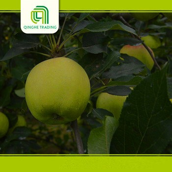 wholesale fiji delicious apples sweet green apples with great price