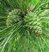 Pinus massoniana Lamb Extract/pinus massoniana lamb