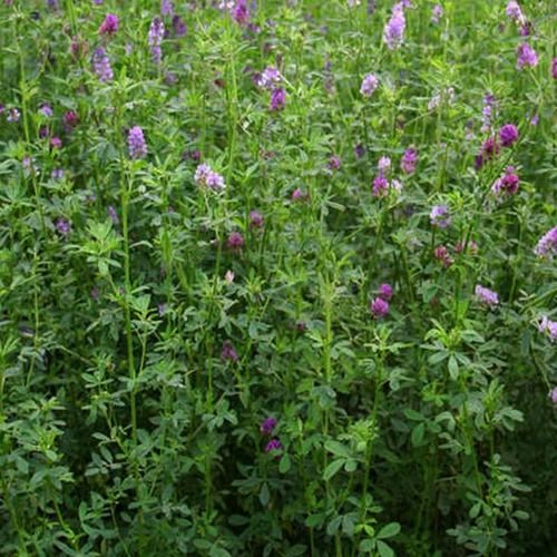 how to get alfalfa seeds