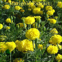 100% Natural Lutein 5% Extract from Marigold
