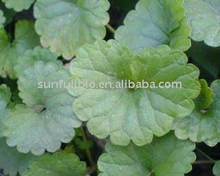 Gotu Kola Extract 70% Total triterpenes
