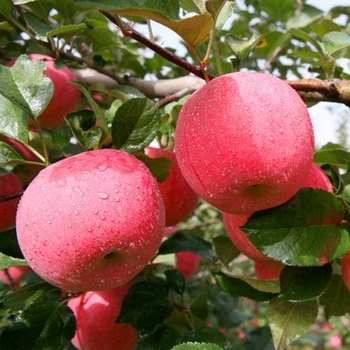 delicious china seasonal fruit with high quality