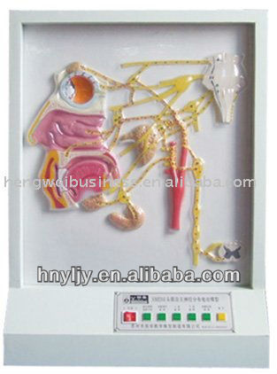 biology electric model/the electric model of autonomic nerve distribution on head