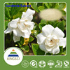 100% Natural Cape Jasmine Fruit Extract Gardenoside powder