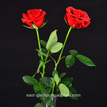 The lowest price 24k golden rose of China National Standard