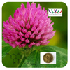 Hot Sale Top Quality Radiationless Plants Anti-inflammation Antioxidant Red Clover Trifolium Pratense L. Extract Powder with 8%