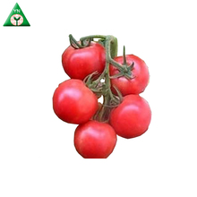 High Yield F1 Hybrid Tomato Seeds