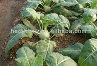 Fruit-type Kohlrabi Seeds for Sale