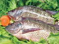 Frozen fresh live tilapia farmed raised
