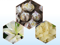 Raw medicine material Traditional Chinese herbal Medicine lily