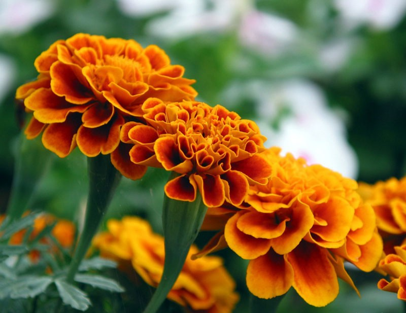 100% natural marigold extract for chickens with 5% Lutein