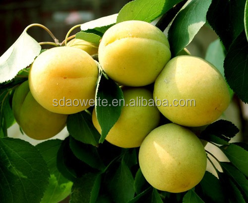 Ethylene Ripener for Apricot