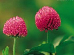Red Clover Extract 8%,20%,40% Isoflavones treat the symptoms of menopause