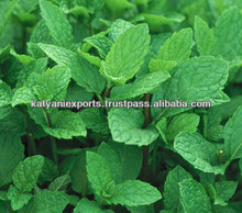 Natural & Pure Quality of Spearmint Oil / Spearmint KATYANI EXPORTS