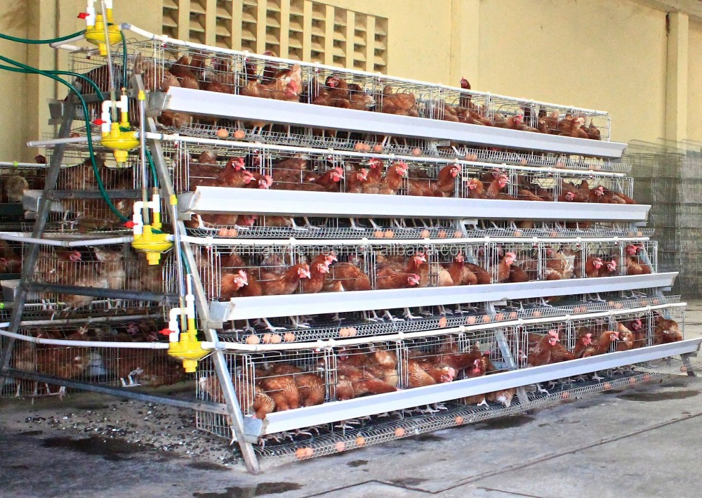 Design 5000 birds poultry house equipment a type chicken cage system