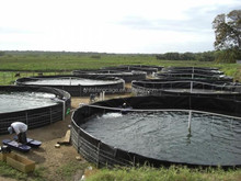circulating aguaculture system for catfish farming