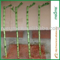 Straight lucky bamboo 15cm to 70cm (House ornamental plants)