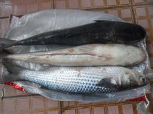 New coming frozen grey mullet without roe or mullet fish roe off