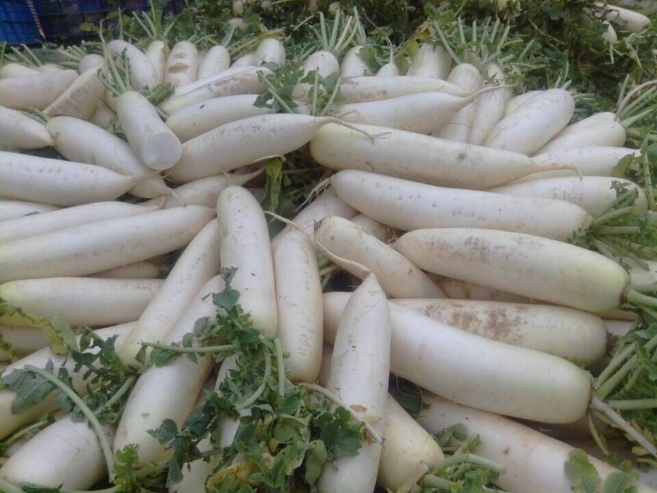 fresh white radish seed from China