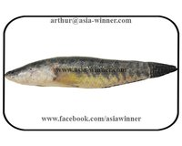 SHOIL FISH - Channa striata
