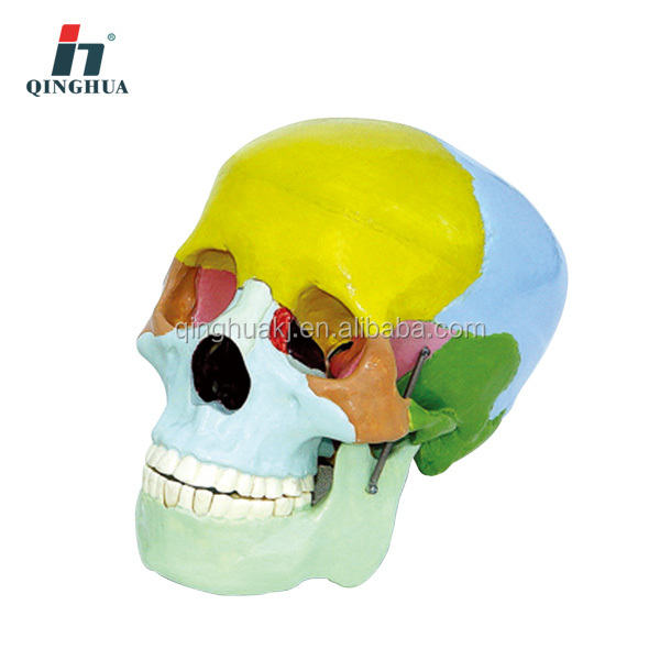 High quality Life-size plastic Human skull model for educational model