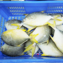 New Wholesale Seafood Whole Round Frozen Golden Pomfret/Pompano Fish