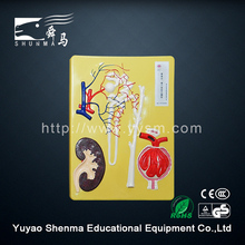 Human organs model laboratory teaching male nephron renal corpuscle enlarge model