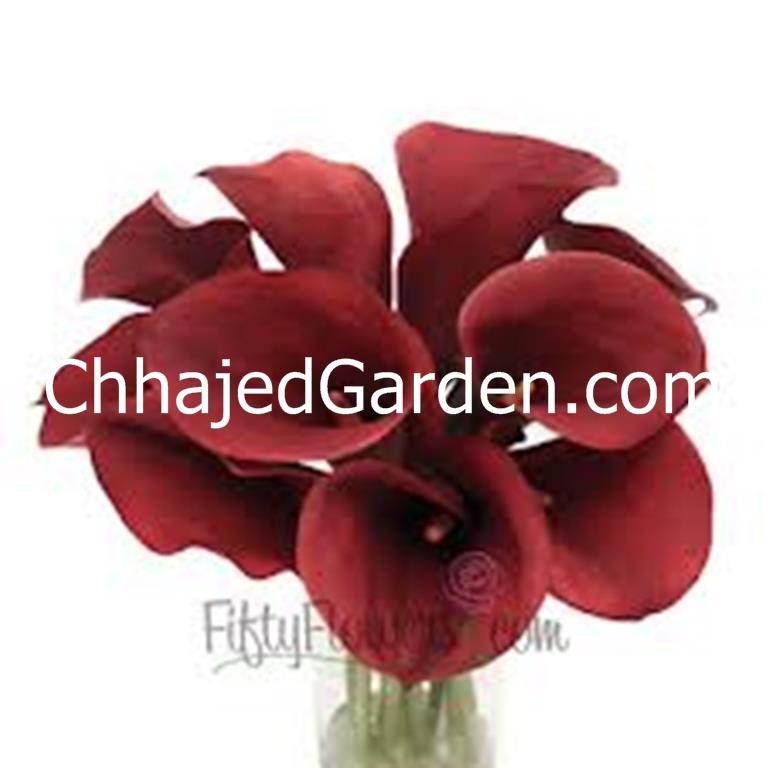 Calla-Lily DEEP-RED flower bulbs