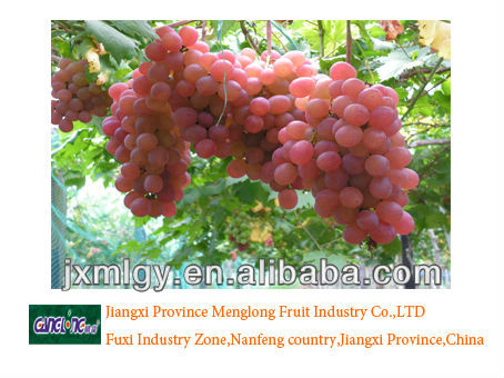 best quality red grape