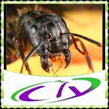 black ant extract powder