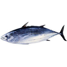 Good quality frozen skipjack tuna whole round for sale