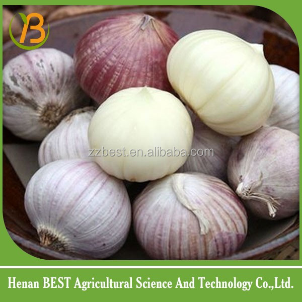 high-nutrition vegetable garlic fresh and white