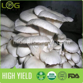 high yield 800-1200gram oyster mushroom spawn