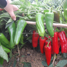 Hybrid green red chilli pepper seeds for sale-Hong Yu