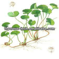 Pure Natural Botanical Extract Gotu Kola / Centella Asiatica Herb Extract