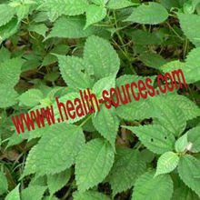 Nettle extract can enhance the lever of testosterone