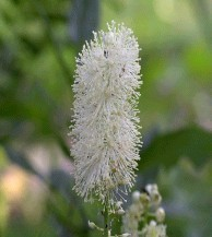 Black cohosh extract powder