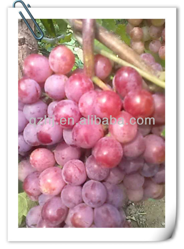 Competitive Price Fresh Red Grape