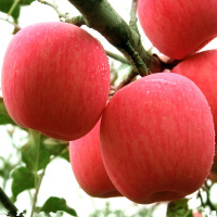 Organic fruit fresh fuji apple