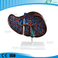 XC-312 plastic anatomical Liver Model