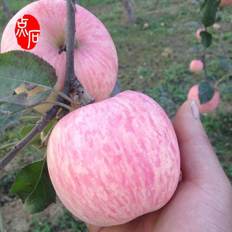 Large Quantity Red Fuji Chinese Apple Fruit Fresh