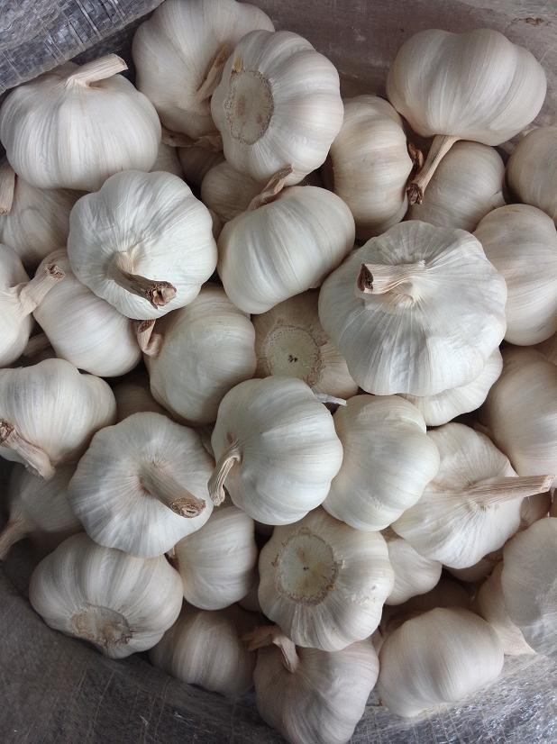 2017 fresh white garlic