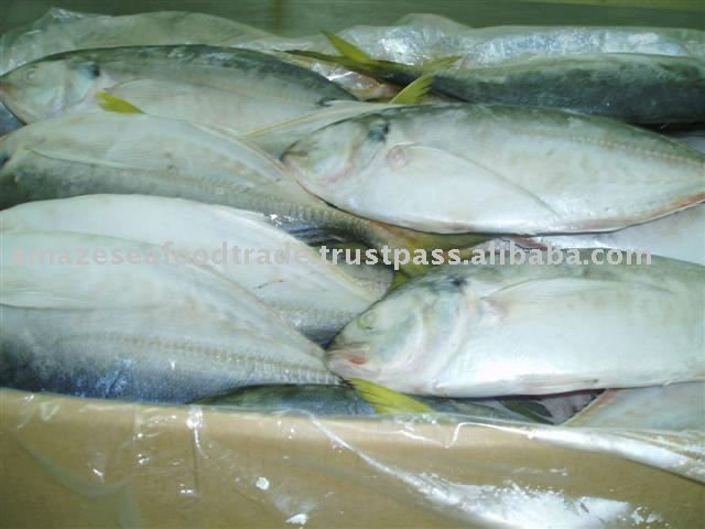 FRESH Frozen Scad ROUND HIGH QUALITY